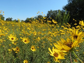 Swamp Sunflower - Helianthus angustifolius
