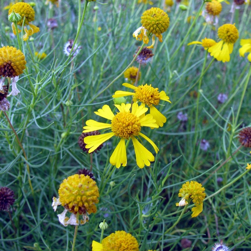 Yellow flowers helenium amarum var amarum sneezeweed texas native mightylinksfo