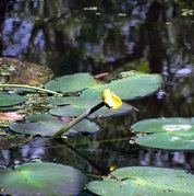 Nuphar lutea ssp. advena - Yellow Pond-lily