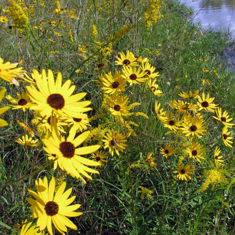 Yellow flowers wildflowers of texas helianthus angustifolius swamp sunflower texas native mightylinksfo