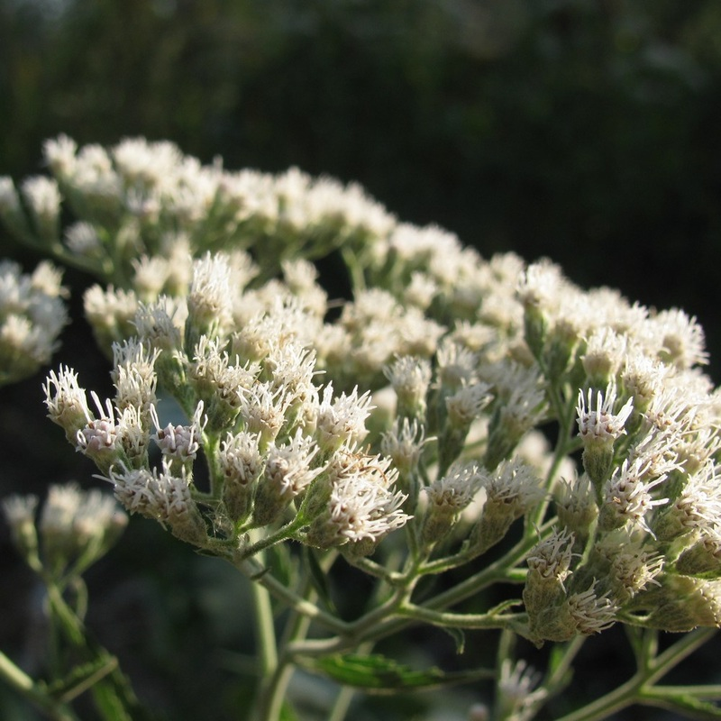 Eupatorium serotinum - Lateflowering Boneset. Texas Native
