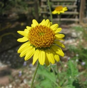 Simsia calva - Bush Sunflower