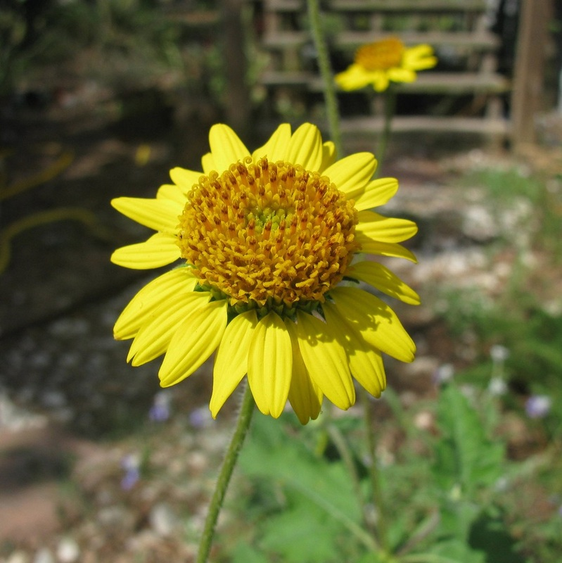 Yellow flowers simsia calva bush sunflower texas native mightylinksfo
