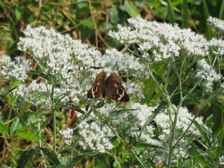 Late-flowering Boneset -Eupatorium serotinum