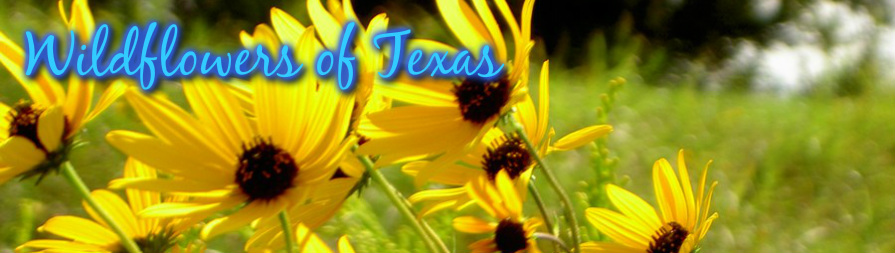 Yellow flowers wildflowers of texas bluepurple 1 redpink 1 yellow 1 white 1 greenbrown 1 unidentified plants 1 mightylinksfo